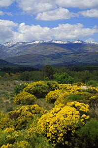 Landscape dotted with Spanish broom {Spartium junceum} Sierra de Gredos, Spain  -  Philippe Clement