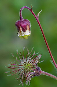 Water avens seedheads {Geum rivale} Sierra de Gredos, Spain  -  Philippe Clement