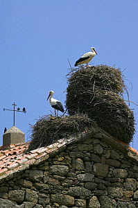 White storks {Ciconia ciconia} with starlings (Sturnus vulgaris) nesting on roof of old church, Spain  -  Philippe Clement