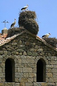 White storks {Ciconia ciconia} nesting on roof of old church, Spain - Philippe Clement