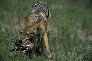 Black backed jackal {Canis mesomelas} with Spotted dikkop prey {Burhinus capensis} Kenya - Hermann Brehm
