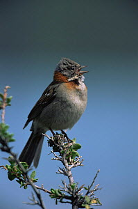 Rufous collared sparrow {Zonotrichia capensis} singing, Torres del Paine NP, Chile  -  Hermann Brehm