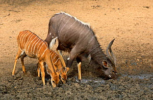 Nyala {Tragelaphus angasi} family drinking at dried up waterhole, Mkuze GR, South Africa  -  Hanne & Jens Eriksen
