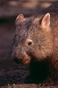 Common wombat {Vombatus ursinus} portrait, Queensland, Australia  -  Brent Hedges