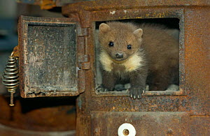 Beech / Stone marten {Martes foina} captive, in old oven / boiler, Germany  -  Dietmar Nill