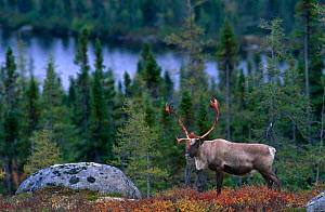 Caribou {Rangifer tarandus} adult male shedding velvet in autumn taiga landscape, Northern Quebec, Canada  -  Jose Schell