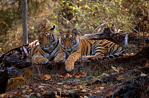 Bengal tiger {Panthera tigris tigris} two juveniles from Sita's 6th litter, Bandhavgarh NP, India  -  E.A. KUTTAPAN