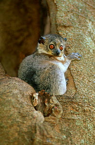White-footed sportive lemur {Lepilemur leucopus} in tree hole, Berenty, Southern Madagascar - Nick Garbutt