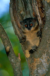 White footed sportive lemur {Lepilemur leucopus} resting in tree hole, Berenty Reserve, Madagascar - Nick Garbutt
