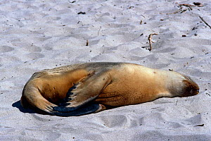 Australian sealion {Neophoca cinerea} pup lying on sand, Kangaroo Is, South Australia  -  Tim Edwards