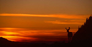 Hurricane Hill, Olympic NP at sunset with silhouette of Black tailed deer, Washington State, USA, August 1995  -  Tim Edwards