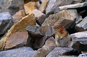 Golden mantled ground squirrel {Spermophilus lateralis} Jasper NP, Alberta, Canada  -  Tim Edwards