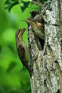 European wryneck {Jynx torquilla} pair at nest hole, one bringing food for chicks, Germany  -  Hermann Brehm