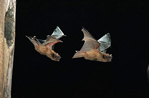 Noctule bat {Nyctalus noctula} males flying from Black woodpecker nest hole in tree, Germany - Klaus Echle