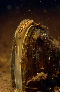 Swan mussel {Anodonta cygnaea} Close up of mantle showing tentacles that sift out debris during feeding, Holland  -  Willem Kolvoort