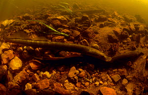 European river lamprey (Lampetra fluviatilis) male preparing to mate with female which attached by its jaw sucker to stone in the Kauguri Canal, Kemeri NP, Latvia - Willem Kolvoort