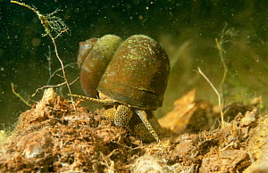 River snail (Viviparus contectus) Holland  -  Willem Kolvoort