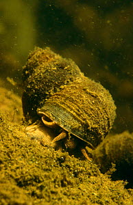 River snail (Viviparus contectus) feeding on algae on river bed. Holland  -  Willem Kolvoort