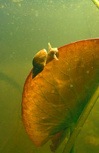 Great Pond Snail (Lymnaea stagnalis) on Water lily leaf in garden pond, Holland  -  Willem Kolvoort