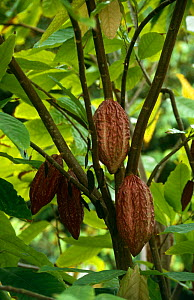 Cocoa beans {Theobroma cacao} growing on tree, Surinam. 2003. - Willem Kolvoort