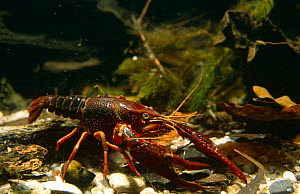 Louisiana swamp crayfish (Procambarus clarkii) captive, introduced to Holland in 1990's.  -  Willem Kolvoort