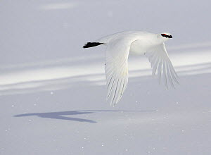 Rock ptarmigan (Lagopus mutus) male flying over snow in winter plumage, Utsjoki, Finland, April 2005 - Markus Varesvuo