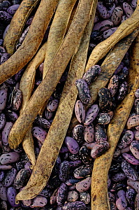 Runner Bean (Phaseolus coccineus) seeds and dried pods, UK  -  Gary K. Smith