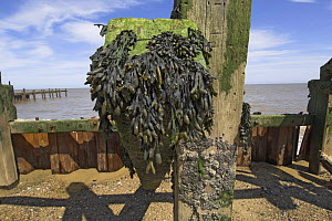 Wrack seaweed on old sea defences at low tide, Norfolk, UK  -  Gary K. Smith