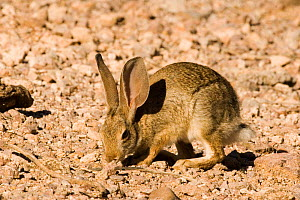 Desert Cottontail (Sylvilagus audubonii) foraging, USA - Barry Mansell