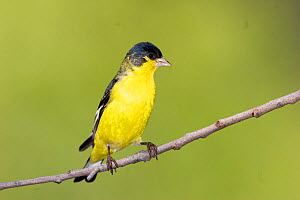 Male Lesser Goldfinch (Carduelis psaltria) Arizona, USA  -  Barry Mansell