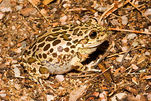 Lowland Burrowing Frog (Smilisca fodiens) Arizona, USA - Barry Mansell