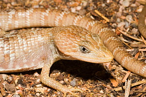 Sonoran / Madrean Alligator Lizard (Gerrhonotus kingii) Texas, USA  -  Barry Mansell