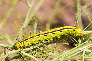 Caterpillar larva of White lined / Striped sphinx moth (Hyles / Celeria lineata) Florida, USA  -  Barry Mansell