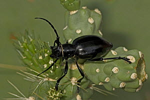 Long-horned Cactus Beetle (Moneilema gigas) feeding on Cholla cactus (Opuntia), Arizona, USA - John Cancalosi