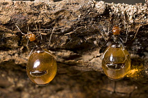 Honey Pot Ants (Myrmecocystus spp) with engorged gasters, Arizona, USA, captive  -  John Cancalosi
