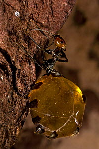 Honey Pot Ant (Myrmecocystus spp) with engorged gaster, Arizona, USA, captive  -  John Cancalosi