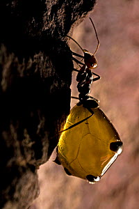 Honey Pot Ant (Myrmecocystus spp) with engorged gaster. Arizona, USA, captive  -  John Cancalosi