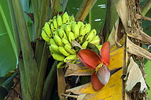 Banana tree (Musacea sp) with fruit and flower, Carara NP, Costa Rica - Philippe Clement