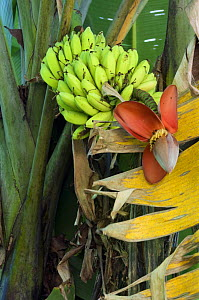 Banana Tree (Musacea sp) with fruit and flowers, Carara NP, Costa Rica - Philippe Clement