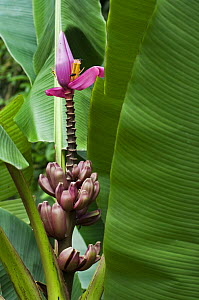 Banana Tree (musa velutina) with flowers and fruit, Costa Rica - Philippe Clement