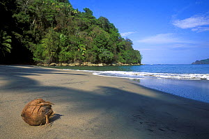 Coconut washed ashore on beach of Manuel Antonio National Park, Costa Rica  -  Philippe Clement
