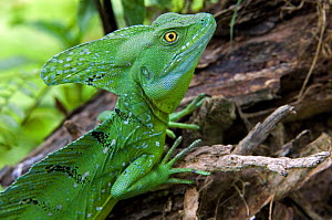 Double crested / Plumed / Emerald / Green Crested Basilisk (Basiliscus plumifrons), captive, Costa Rica  -  Philippe Clement