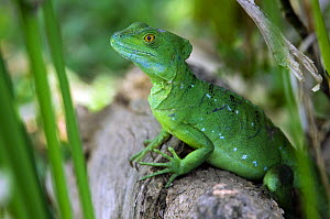 Double Crested/ Plumed / Emerald / Green Crested Basilisk (Basiliscus plumifrons), captive, Costa Rica  -  Philippe Clement