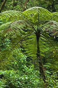 Giant tree fern (Cyathea sp.), Tapanti NP, Costa Rica  -  Philippe Clement