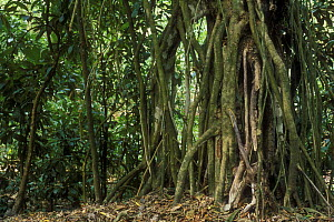 Strangler Fig roots (Ficus sp), Carara National Park, Costa Rica  -  Philippe Clement