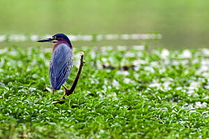 Green heron (Butorides virescens) in swamp, Carara NP, Costa Rica  -  Philippe Clement