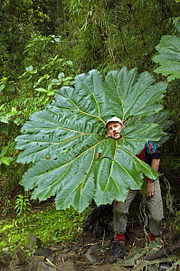 Man sticking head through Poor man's umbrella (Gunnera insignis) in cloud forest, Tapanti NP, Costa Rica  -  Philippe Clement