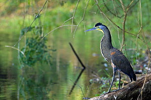 Bare throated tiger heron (Tigrisoma mexicanum), Carara NP, Costa Rica  -  Philippe Clement