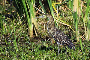 Bare throated tiger heron (Tigrisoma mexicanum) in swamp, Palo Verde NP, Costa Rica  -  Philippe Clement
