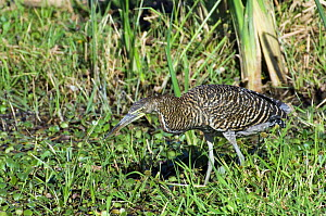 Bare throated tiger heron (Tigrisoma mexicanum) stalking prey in swamp, Palo Verde NP, Costa Rica  -  Philippe Clement